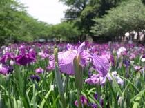花菖蒲が咲く大村公園