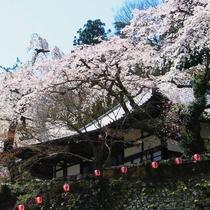 ●善福寺 樹齢200年を超えるしだれ桜が有名な寺院です。毎年4月に夜桜茶会が催されます(徒歩2分)