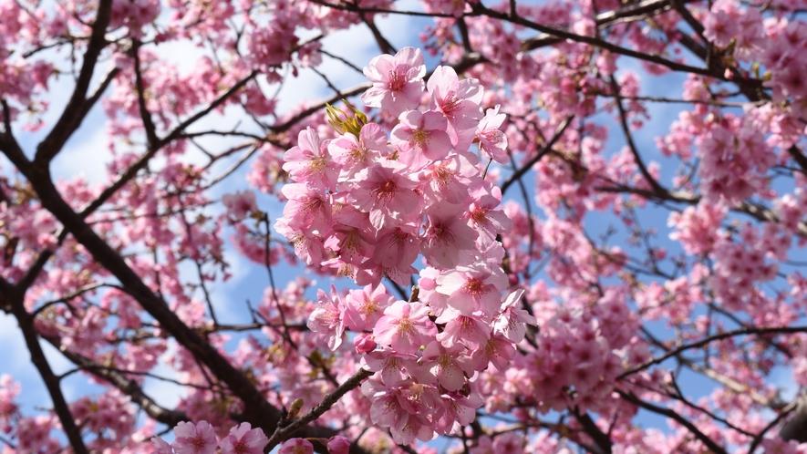 伊豆の春の風物詩「河津桜」濃いピンクが特徴