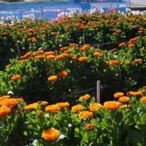 ■春にかけて南房総はお花摘みがシーズンです♪海風と太陽の光を受けて育ったお花はとっても綺麗です♪