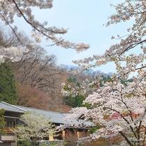桜の見頃:4月中旬(当館の敷地内)