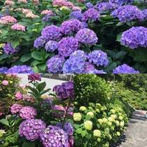 6月は下田あじさい祭りが開催されております。詳しくは下田観光協会http://www.shim