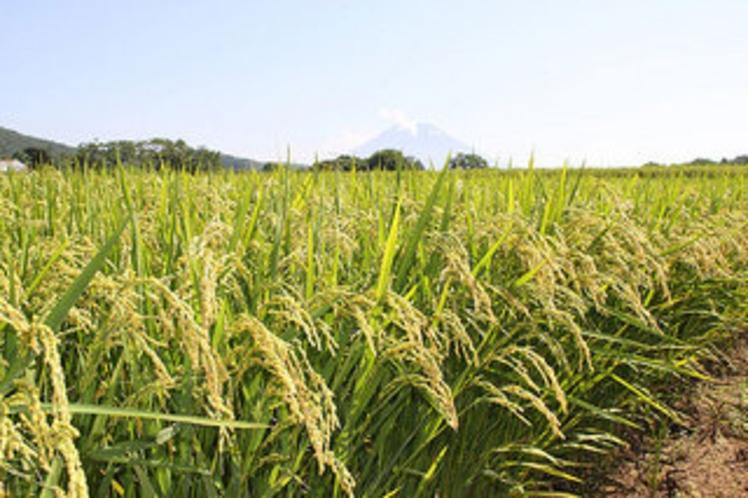 新米収穫体験