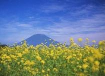 ヒマワリや菜の花、キガラシ畑