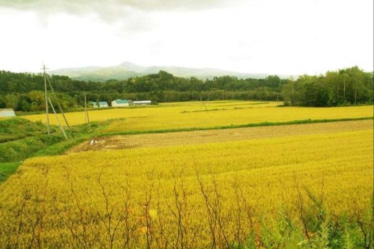 お米の田んぼ、収穫の頃