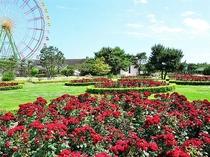 国営ひたち海浜公園いばらきバラ祭り