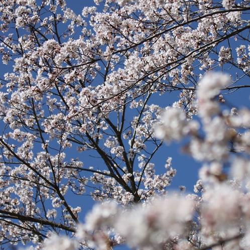 美しく咲き誇る桜。吉備高原には身近に自然がいっぱいです