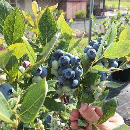 吉備高原の昼夜の寒暖の差により、甘く美味しい実に育ちます。