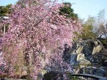 ホテルお庭のしだれ桜