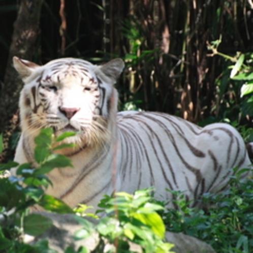平川動物園の珍しいホワイトタイガー