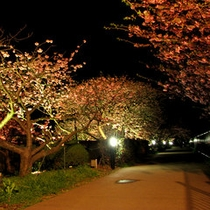 河津桜ライトアップ