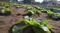 自家製野菜を作る農園