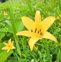 *ニッコウキスゲ。朝に開いて、夕方にしぼむ1日花です。【片品村観光協会 提供】