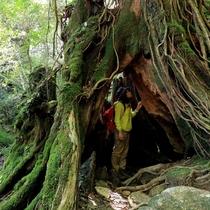 【白谷雲水峡】何百種類の苔に覆われた深い緑の森をゆっくりと観察できます