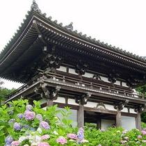 観音寺のあじさい(福知山)
