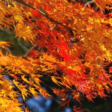 【尾瀬の紅葉をみにいこう】まいたけの天ぷら・地元片品きのこ鍋&尾瀬ヶ原/鳩待峠へ紅葉狩り