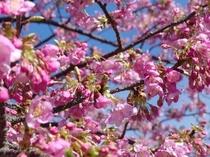 宿周辺の桜