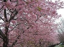 H22年2月 河津桜