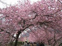 H22年2月河津桜