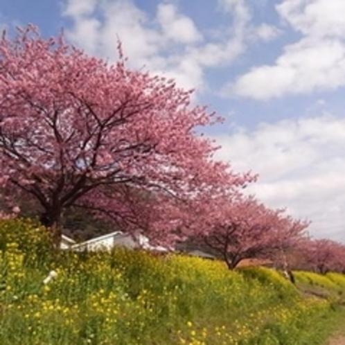 河津桜 菜の花の黄色とピンクが春を感じさせます♪
