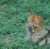 群馬サファリパークのライオン