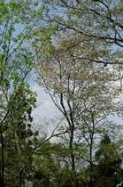 森に自生する山桜