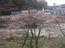桜が芽吹き始めました