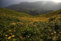 利尻山頂のお花畑