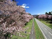 【静内二十間道路桜並木】