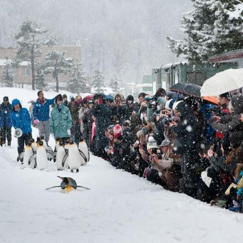 寒さは得意♪旭山動物園のペンギンたち
