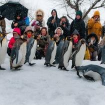 旭山動物園名物、ペンギンさんの行進です♪