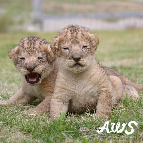 AWS・ライオンの赤ちゃん