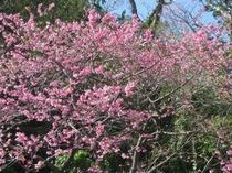 2月上旬〜中旬には、コバルト荘の近くでも桜が見られますよ。