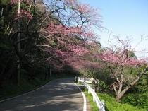 日本一早い桜祭り。2013年1月19日撮影。
