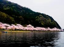 海津大崎の桜イメージ
