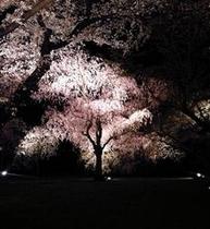 二条城桜ライトアップ 2011