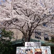 京都ガーデンパレスに咲く大輪の桜
