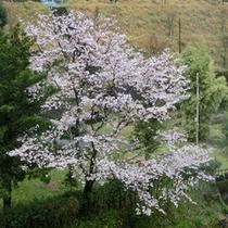 さくらの季節には川沿いの桜が綺麗です