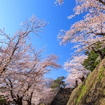 **【小諸城趾】ソメイヨシノの他、小諸固有のコモロヤエベニシダレなど珍しい桜が楽しめます。