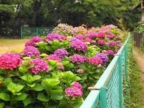 大平台の紫陽花