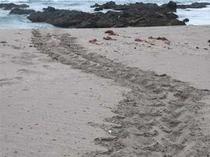 ビーチに産卵にきた海亀の足跡