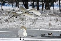 白鳥の渡来地として全国的に有名な瓢湖。