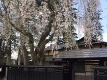 角館武家屋敷桜まつり
