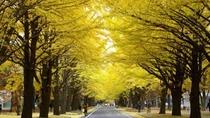 【秋】北海道大学(イチョウ並木)