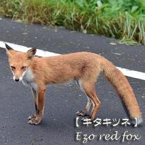 【漢字:北狐】        【体長:約62cm~約78cm】