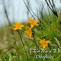 【見頃:6月~8月】花言葉:「単純」「憂いを忘れる」