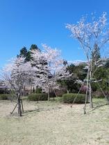 あさぎり山荘庭の桜