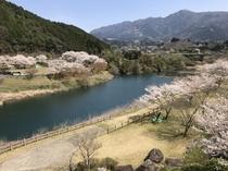 一房ダム周辺 桜画像