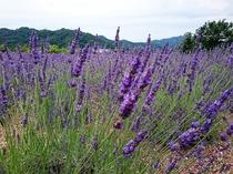 セントラーレのラベンダー畑