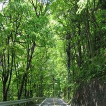 塩原街道沿いの新緑トンネル